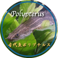 Polypterus